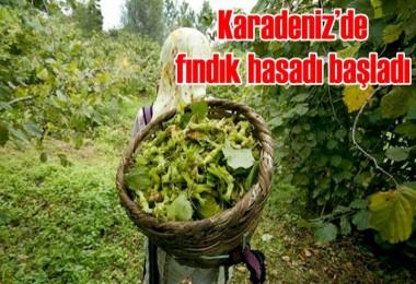 Karadeniz'de fındık hasadı