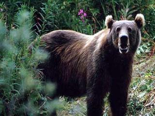 Ardahan'da ayı saldırısı: 1 yaralı