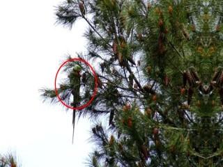 Avcılar'da şaşırtan görüntü; Ağaçlar papağanla doldu
