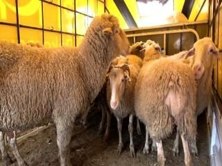 Esenyurt'ta kaçak koyun etine zabıta el koydu